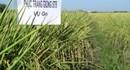 Trồng lúa thơm  cần áp dụng kỹ thuật cao
