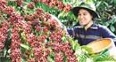 """""""Nhà nông đua tài"""" dành cho người trồng cà phê"""