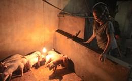Người dân điêu đứng vì giá lợn giảm mạnh trước Tết Đinh Dậu