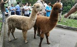 Xem lạc đà không bướu đáng yêu ở Thảo Cầm Viên Sài Gòn