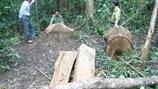 UBND tỉnh Bình Định yêu cầu kiểm tra, xử lý vụ phá rừng Vĩnh Thạnh