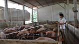 Người chăn nuôi có nguy cơ mất tết