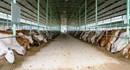 Phải đền bù trên 400 triệu đồng cho 1ha đất rừng... nuôi bò