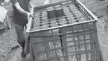 Nhọc nhằn nghề làm than tổ ong ven sông Hồng