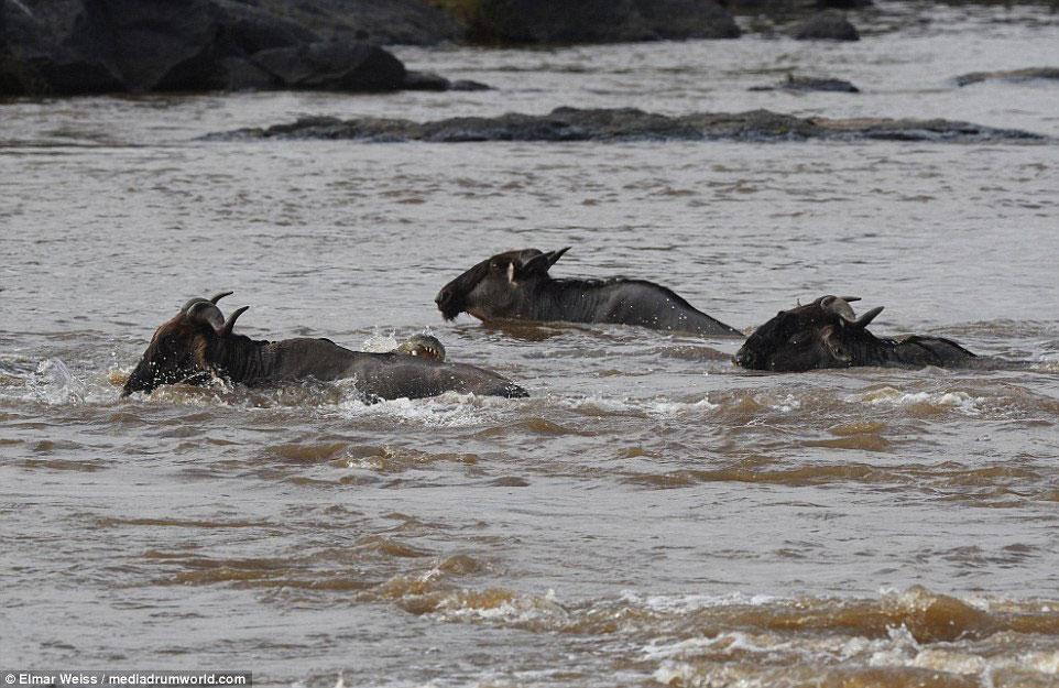 """Linh dương đầu bò thoát chết kỳ diệu khi liều bơi qua """"sông cá sấu"""" - Ảnh minh hoạ 9"""