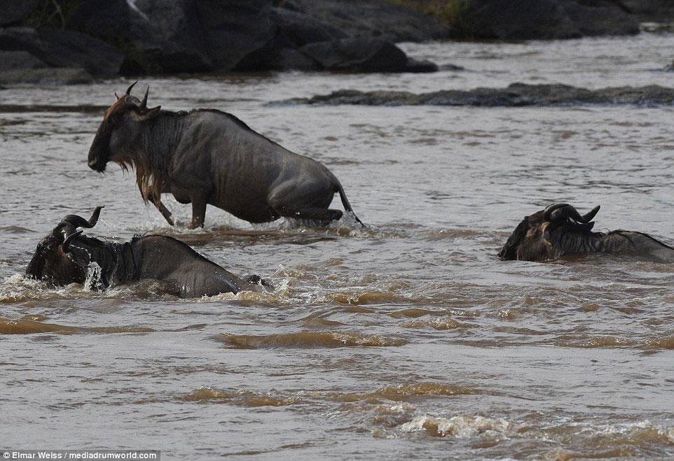 """Linh dương đầu bò thoát chết kỳ diệu khi liều bơi qua """"sông cá sấu"""" - Ảnh minh hoạ 11"""