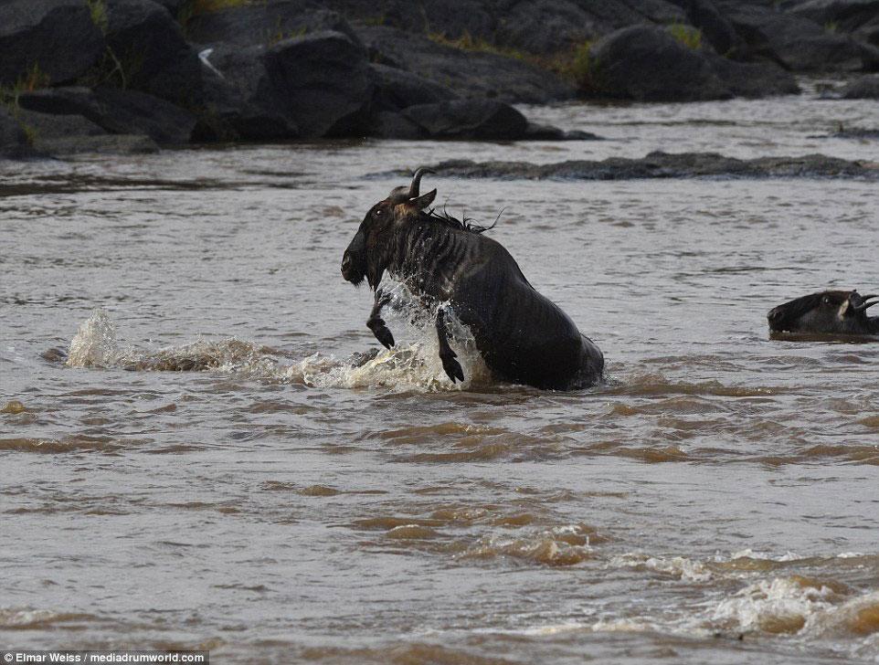 """Linh dương đầu bò thoát chết kỳ diệu khi liều bơi qua """"sông cá sấu"""" - Ảnh minh hoạ 12"""