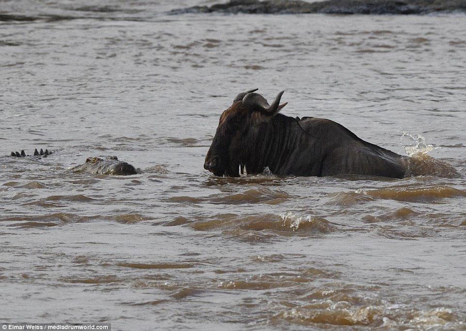 """Linh dương đầu bò thoát chết kỳ diệu khi liều bơi qua """"sông cá sấu"""" - Ảnh minh hoạ 2"""