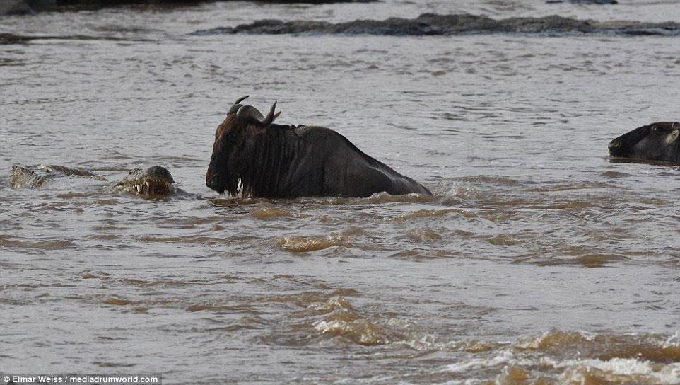 """Linh dương đầu bò thoát chết kỳ diệu khi liều bơi qua """"sông cá sấu"""" - Ảnh minh hoạ 3"""
