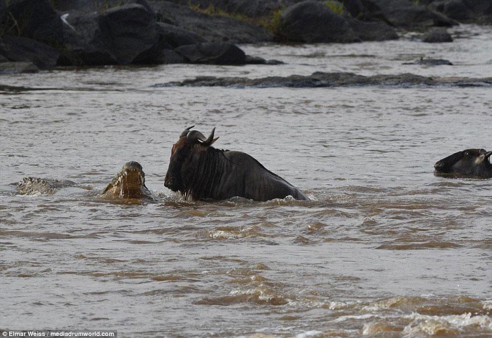 """Linh dương đầu bò thoát chết kỳ diệu khi liều bơi qua """"sông cá sấu"""" - Ảnh minh hoạ 4"""