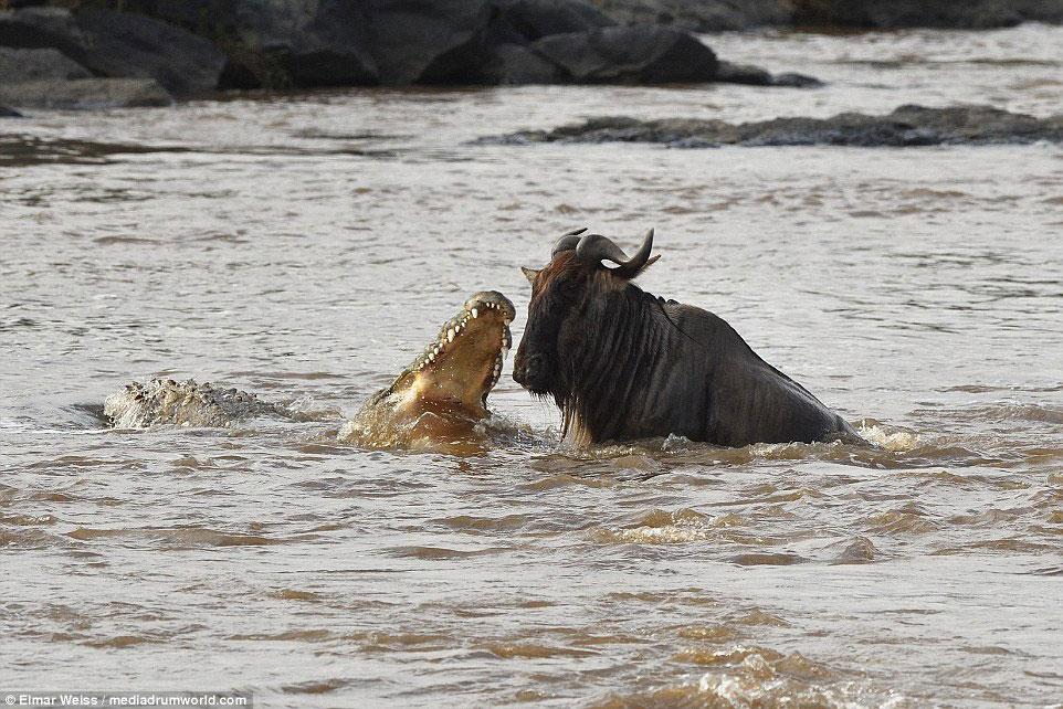 """Linh dương đầu bò thoát chết kỳ diệu khi liều bơi qua """"sông cá sấu"""" - Ảnh minh hoạ 5"""