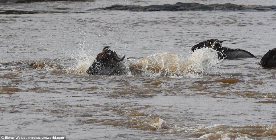 """Linh dương đầu bò thoát chết kỳ diệu khi liều bơi qua """"sông cá sấu"""" - Ảnh minh hoạ 8"""