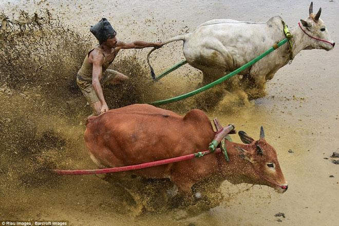 Ngoạn mục cảnh đua bò truyền thống 400 năm ở xứ vạn đảo