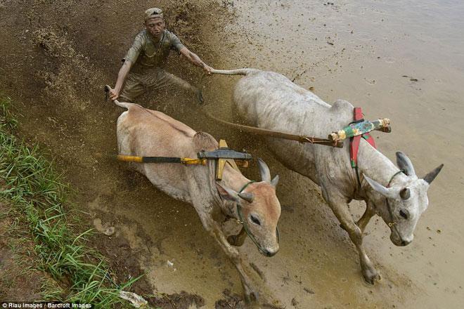 Ngoạn mục cảnh đua bò truyền thống 400 năm ở xứ vạn đảo - Ảnh minh hoạ 2