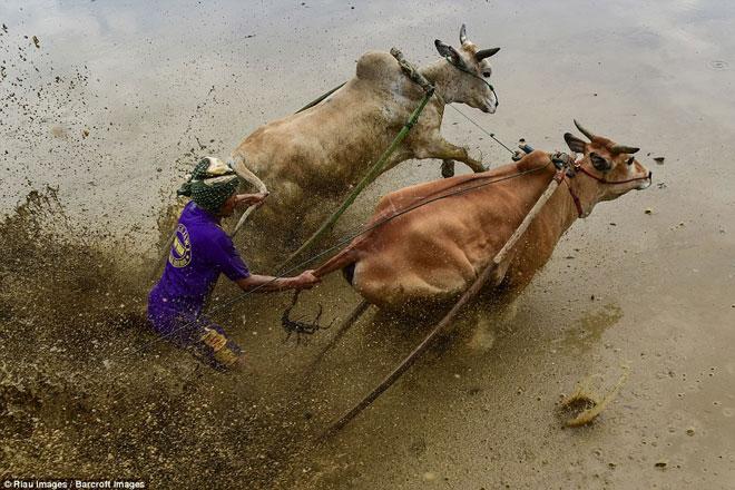 Ngoạn mục cảnh đua bò truyền thống 400 năm ở xứ vạn đảo - Ảnh minh hoạ 3