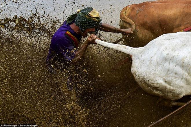 Ngoạn mục cảnh đua bò truyền thống 400 năm ở xứ vạn đảo - Ảnh minh hoạ 4