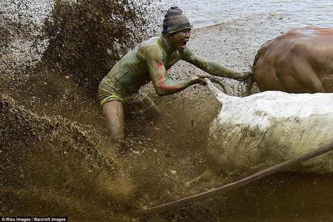 Ngoạn mục cảnh đua bò truyền thống 400 năm ở xứ vạn đảo - Ảnh minh hoạ 5