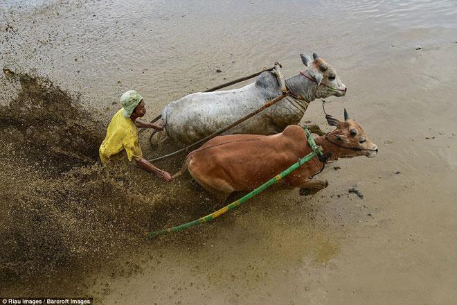 Ngoạn mục cảnh đua bò truyền thống 400 năm ở xứ vạn đảo - Ảnh minh hoạ 6
