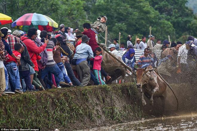 Ngoạn mục cảnh đua bò truyền thống 400 năm ở xứ vạn đảo - Ảnh minh hoạ 7