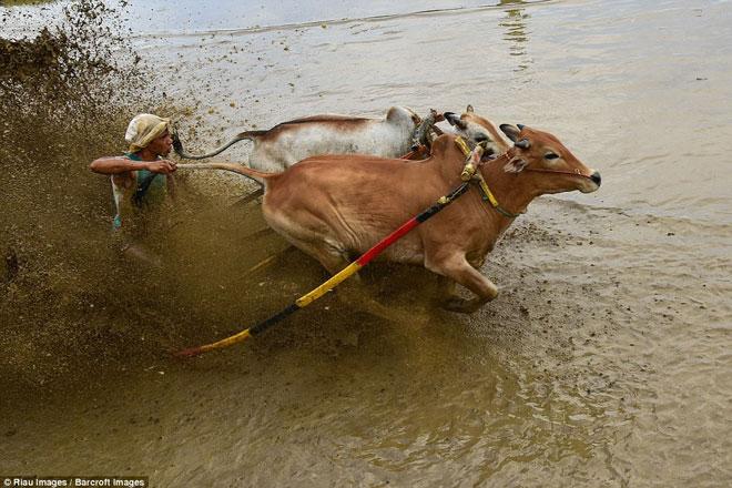 Ngoạn mục cảnh đua bò truyền thống 400 năm ở xứ vạn đảo - Ảnh minh hoạ 8