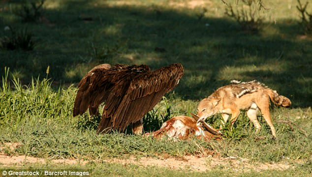 Chó rừng và kền kền đói quyết chiến sống còn để tranh miếng ăn
