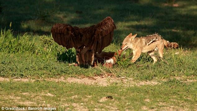 Chó rừng và kền kền đói quyết chiến sống còn để tranh miếng ăn - Ảnh minh hoạ 2