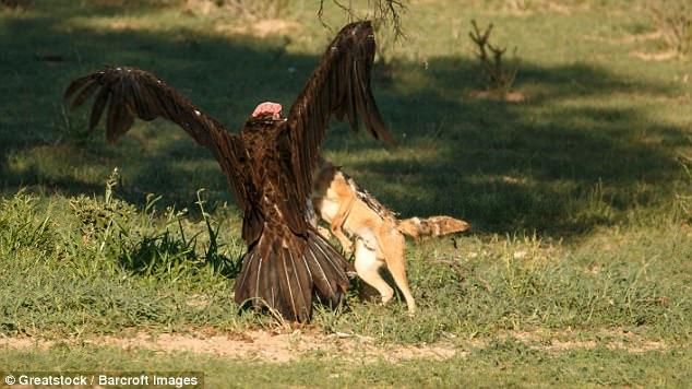 Chó rừng và kền kền đói quyết chiến sống còn để tranh miếng ăn - Ảnh minh hoạ 3