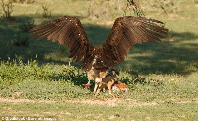 Chó rừng và kền kền đói quyết chiến sống còn để tranh miếng ăn - Ảnh minh hoạ 4