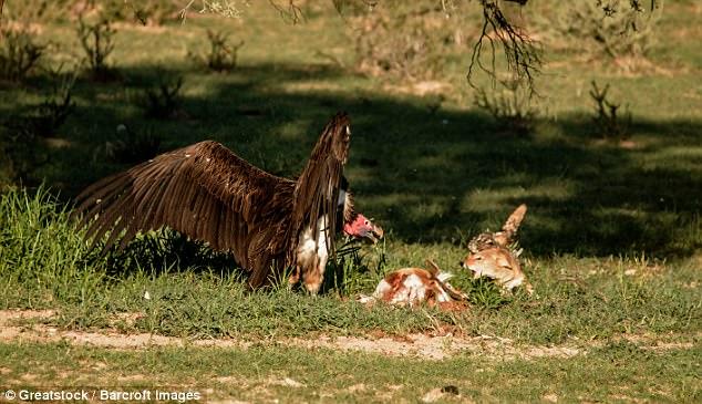 Chó rừng và kền kền đói quyết chiến sống còn để tranh miếng ăn - Ảnh minh hoạ 5