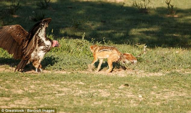 Chó rừng và kền kền đói quyết chiến sống còn để tranh miếng ăn - Ảnh minh hoạ 6