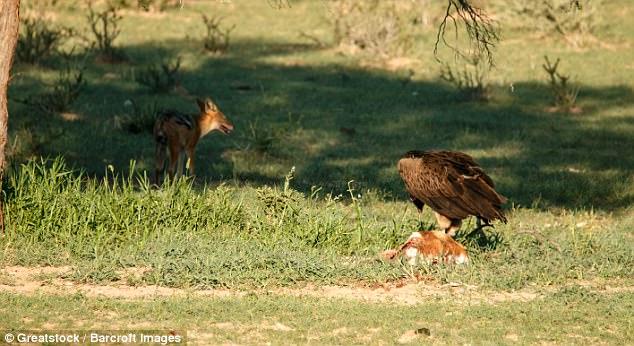 Chó rừng và kền kền đói quyết chiến sống còn để tranh miếng ăn - Ảnh minh hoạ 7