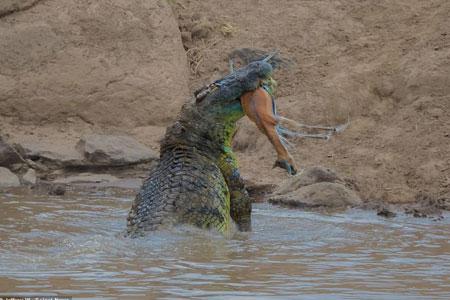 Kinh hãi cá sấu đói xé xác linh dương rồi nuốt chửng - Ảnh minh hoạ 2