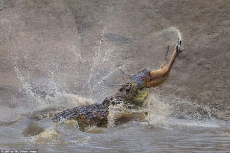 Kinh hãi cá sấu đói xé xác linh dương rồi nuốt chửng - Ảnh minh hoạ 4