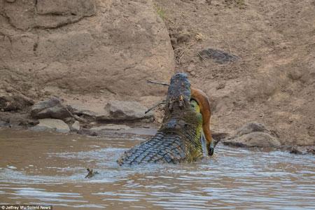 Kinh hãi cá sấu đói xé xác linh dương rồi nuốt chửng - Ảnh minh hoạ 5