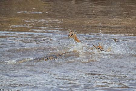 Kinh hãi cá sấu đói xé xác linh dương rồi nuốt chửng