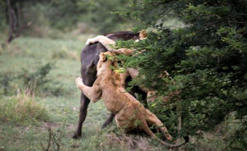 Trâu rừng dũng mãnh húc bay 2 sư tử chạy thoát thân ngoạn mục