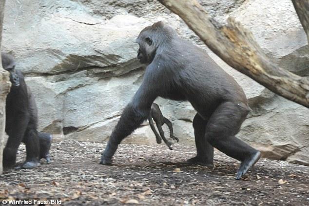Xúc động hình ảnh khỉ mẹ đau đớn tuyệt vọng trước cái chết của con - Ảnh 2