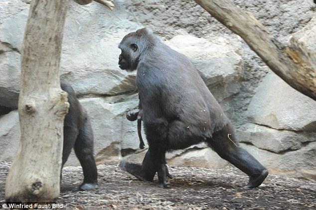 Xúc động hình ảnh khỉ mẹ đau đớn tuyệt vọng trước cái chết của con - Ảnh 3