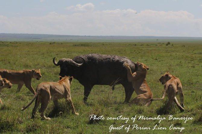 Trâu rừng đơn độc đánh bại cả bầy sư tử thoát chết ngoạn mục