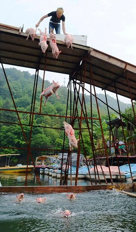 """Cười """"rụng rốn"""" với màn nhảy cầu, thi bơi của những chú lợn"""