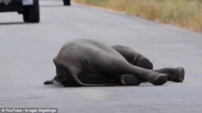 Hồi hộp xem đàn voi chung sức giải cứu đồng loại bị ngã ở giữa đường