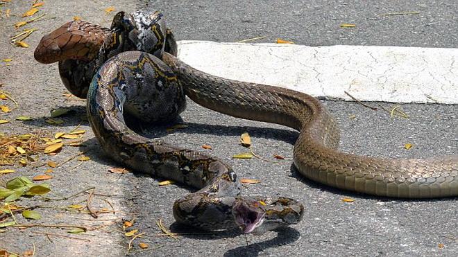 Trăn và rắn hổ mang quyết chiến ngay giữa đường phố đông đúc