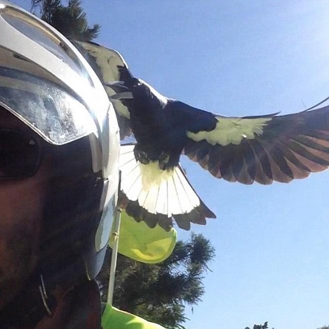 Bất ngờ cảnh chim chích chòe tấn công người dân