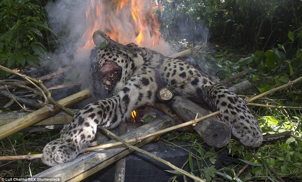 Đáng thương con báo bị dân làng đánh tới chết
