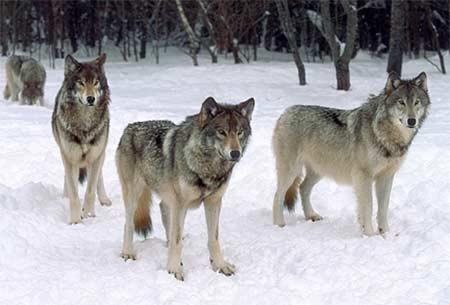 Hình tượng con sói phổ biến trong thần thoại của các dân tộc trên toàn lục  địa Á-Âu và Bắc Mỹ tương ứng với mức độ lịch sử phân bố của môi ...