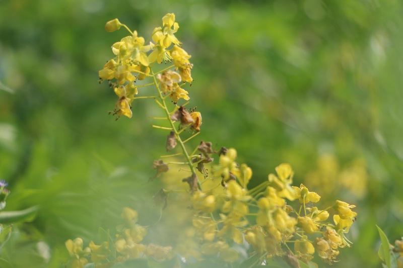 Đẹp mê hồn hoa giêng giếng vàng rực bên bờ sông Lam - Ảnh minh hoạ 8