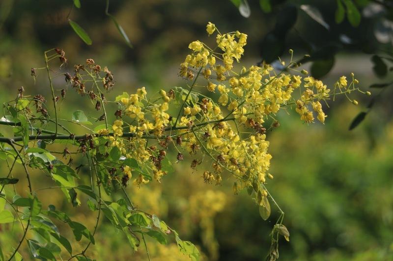 Đẹp mê hồn hoa giêng giếng vàng rực bên bờ sông Lam - Ảnh minh hoạ 2