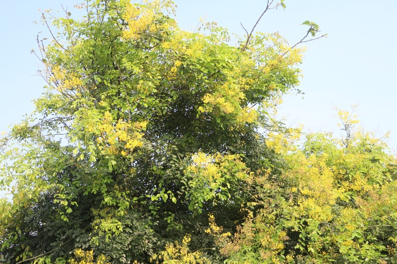 Đẹp mê hồn hoa giêng giếng vàng rực bên bờ sông Lam - Ảnh minh hoạ 4